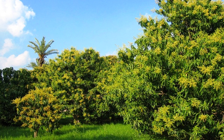 Mango Farms in Multan