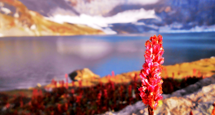 The Ratti Gali Lake provides the backdrop to this close-up of the eponymous flower