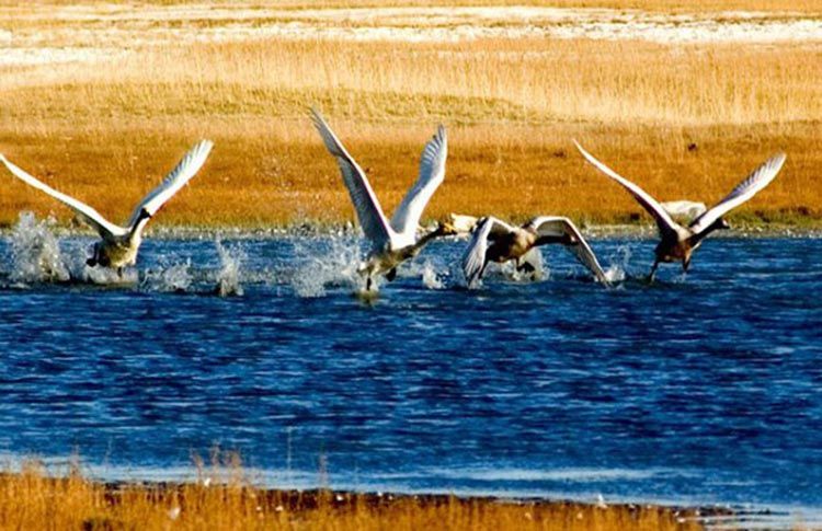 Bayanbulak: The Beautiful Homeland of Swans - Swans at Swan Lake