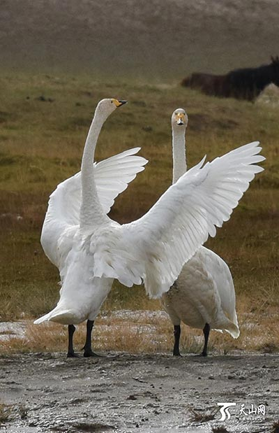 Swans at Swan Lake  - Bayanbulak: The Beautiful Homeland of Swans