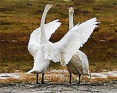 巴音布鲁克水草丰美的天鹅故乡