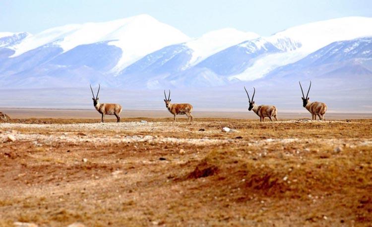Tibetan Antelopes in Hoh Xil