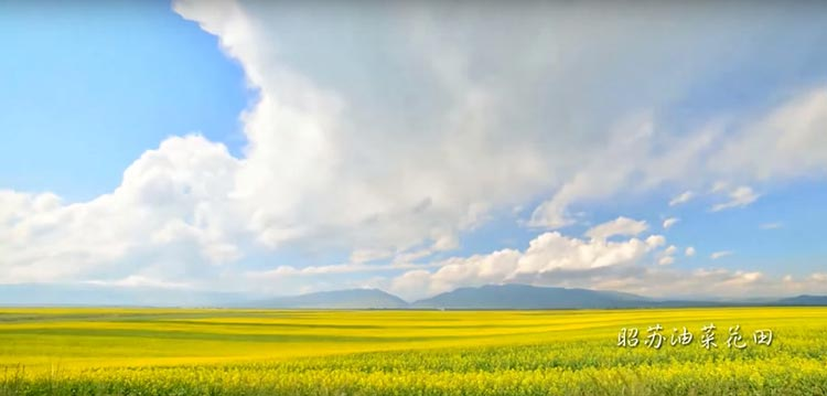 My Xinjiang: A Micro-Documentary by a Student - The yellow cole flower fields of Zhaosu, as captured by Shui Zheng