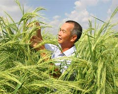 Rice Grown in Saline Lands Turning Desert-like Areas into Farms