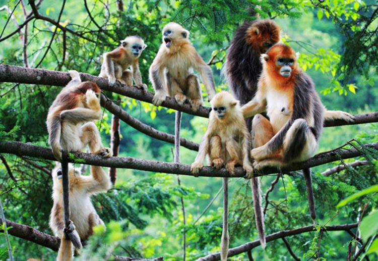The Golden Monkeys - Shennongjia: Land of Colours
