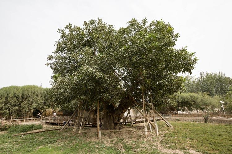 The King of Walnut Trees in Hotan
