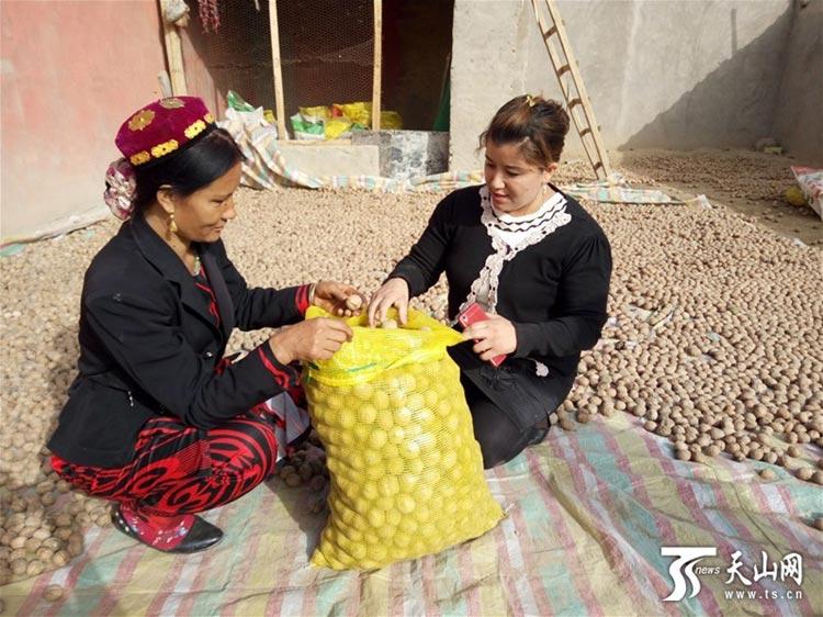 Walnuts picking in Yecheng County