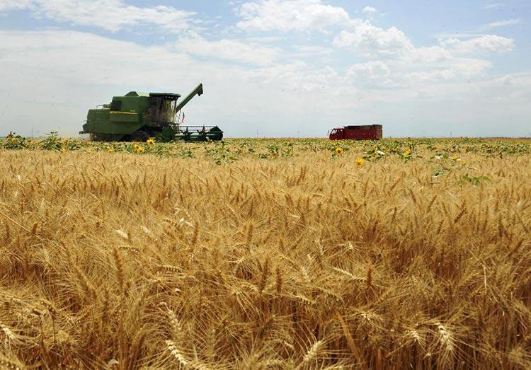 Wheat fields in Xinjiang - Xinjiang Noodle