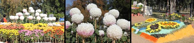 Chrysanthemum Flower Show at Rose and Jasmine Garden, Islamabad