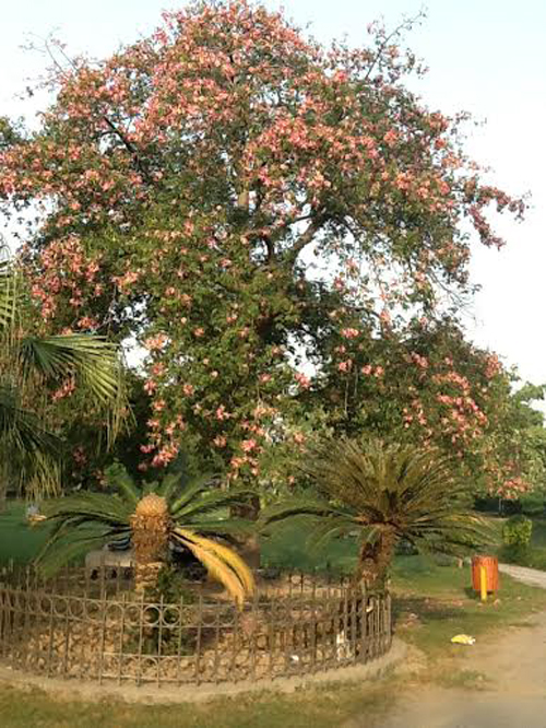 The Budha tree in full bloom