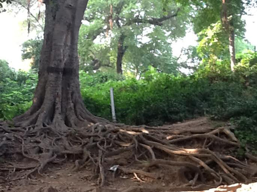 Roots exquisitely spreading over hundreds of years